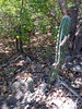 Stenocereus griseus (bunkenburg) Tags: cactaceae stenocereus