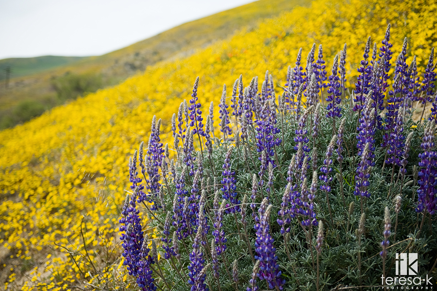Wildflowers in bloom, the grapevine, California, Teresa K photography, California Landscape photography