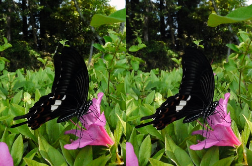 Papilio helenus, stereo parallel view