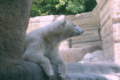 Dösender Eisbär