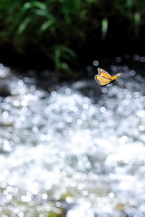 Bokeh Butterfly in Flight (John Petrick) Tags: butterfly hawaii bokeh kauai poipu monarchbutterfly butterflywings butterflyinflight d90 hawaiivacation kauaihawaii sigma150mmmacro hbw kauaivacation bokehbutterfly bokehballs bokehcircles butterflyflying happybokehwednesday poipukauai d90bokeh backlitbutterfly kauaibutterfly butterflyoverstream sigma150bokeh sanseihale sigma150mmbokeh waikomostream