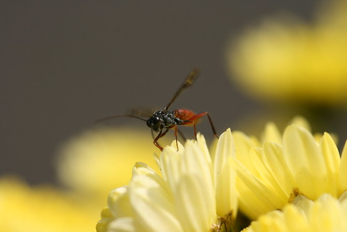 Ichnumon Fly on Yellow Chrysanthemums