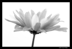 Softly (Sean Phillips) Tags: light canada flower macro calgary daisies umbrella canon studio purple flash tent alberta daisy lighttent strobe critique tds purpledaisies offcameraflash strobist 540ez photobyseanphillips