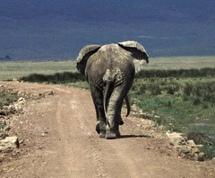 Ngonongoro bull elephant (John Spooner) Tags: africa elephant tanzania wildlife arse bum safari ngorongoro creativecommons behind eastafrica bullelephant johnspooner elephantsrhinosgiraffeshippos