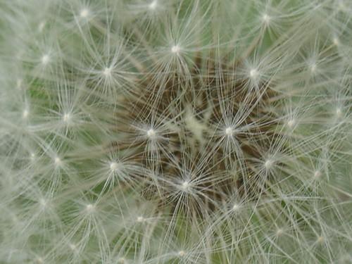 A Universe in a Dandelion