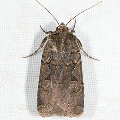 Parabagrotis insularis 20070727_4016 (GORGEous nature) Tags: washington moth july lepidoptera skamaniaco gpnf noctuidae noctuinae wa biglavabed 2000ft noctuini parabagrotisinsularis mona110481 fr66 ©johndavis