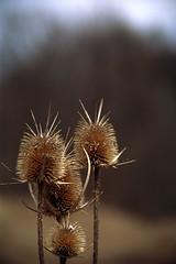 Bükk Mountains (Hungary) - Thistle (๑۩๑ V ๑۩๑) Tags: autumn trees mountain nature hungary thistle bükk ilobsterit