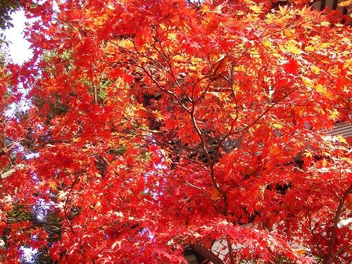 燃ゆる紅葉に 燃え切れぬ思いを託す 晩秋かな