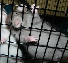 Mink Male (braindamaged217) Tags: cute pups rat babies pathetic 10millionphotos eviannas