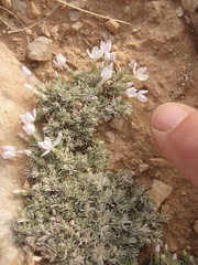 "So tiny (carladenton) Tags: wyoming wildflower sandwort fendlersandwort ""rockymountainwildflowerspocketguide daviddahms"""