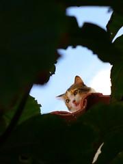 The Cheshire Cat (Biodisk) Tags: cat cheshire alice wonderland