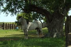 Centro de Treinamento de Cavalos Crioulos (Ivan Bustam@nte) Tags: horse rio ga de criollo cheval grande do cavalo pferd riograndedosul sul ouro paard gaucho sela tradio crioulo gauchismo gaudrio freio caball criolo abccc rdea cho ivanovbr