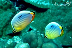 Pair of Melon butterflyfish - Koh Tachai Island, Thailand (_takau99) Tags: ocean trip travel sea vacation holiday fish uw nature water topv111 thailand island lumix islands topv555 topv333 marine asia southeastasia underwater indian pair indianocean topv444 dive january scuba diving topv222 panasonic thai tropical scubadiving phuket melon 2008 similan khaolak andaman andamansea butterflyfish trifasciatus chaetodon fx30 takau99 chaetodontidae tachai kotachai twinpeeks kohtachai edive dmcfx30 melonbutterflyfish chaetodontrifasciatus tachaiisland