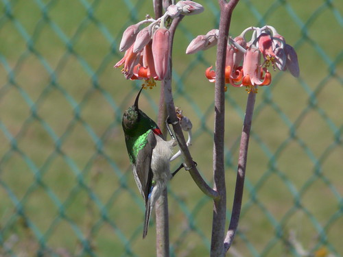 Southern Double-Collared Sunbird near Geelbek restaurant
