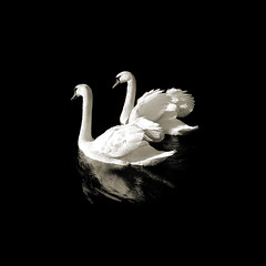 Swan Lake (EARTH 2015) Tags: blackandwhite bw white black reflection nature water birds couple peace swans romantic onblack themoulinrouge bwdreams challengeyouwinner mywinners abigfave cywinner theunforgettablepictures