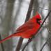 Male Cardinal 3-7-08