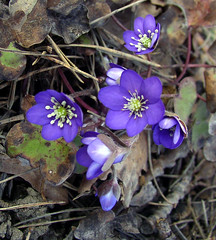~ the blue anemone ~ (Per Ola Wiberg ~ Powi) Tags: mars nature march sweden harmony wildflowers sverige 2008 nationalgeographic naturescenes hepaticanobilis blueflowers blsippor naturesfinest favoritephotos fotoclub blueribbonwinner eker blueanemone wrangels blsippa natureplus naturesgallery abigfave flickrhearts irresistiblebeauty crystalaward vildablommor diamondclassphotographer flickrdiamond photosandcalendar flickrbronzeaward flickrsilveraward flowersarebeautiful onlythebestare diamondstars eperke exemplaryshotsflickrsbest betterthangood natureislife everydayissunday natureslove goldstaraward excellentsflowers crazyaboutnature peaceawards beautifulshot overtheshot damniwishidtakenthat awesomeblossoms thebestofnature grouptripod freedomhawk naturegreenstar naturescreations angelawards addictedtonature crazyaboutnatureawards mostbeautifulpictures platinumpeaceaward flowersonflickr addictedtoflower naturesprime angelgallery ~fragrantflowers~ fabulousplanet bestpeopleschoice fotografaynaturaleza thenaturessoul mycolorfulflowers elisfavoriteflowers theflowersworld