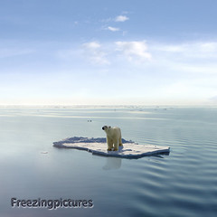 The last Polar Bear (freezingpictures) Tags: ocean bear blue sea wild sky snow ice nature animal animals danger melting wildlife bears arctic polarbear disaster environment melt concept conceptual inspirational predator warming globalwarming floe