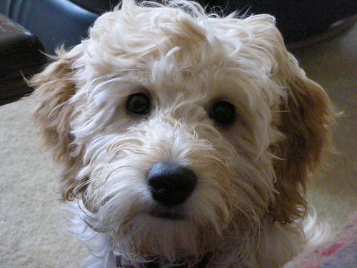 miniature goldendoodle puppy. Tags: mini goldendoodle