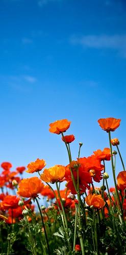 The Flower Fields of Carlsbad