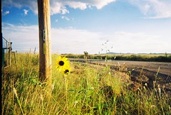 a sneak preview of summer (Esther17) Tags: film yellow electric 35mm pole 200 sunflower expired yella sonoita vivitaronki89