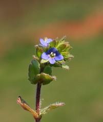 GIVE ME POLLEN! (DrPhotoMoto) Tags: nc veronica wildflower richmondcounty