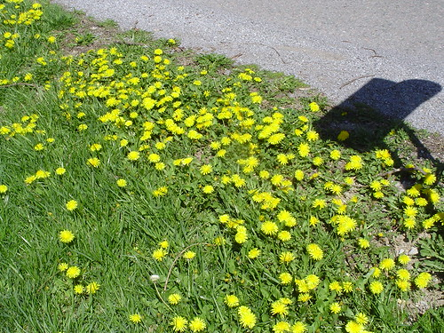 The dandelions in my yard on Saturday...