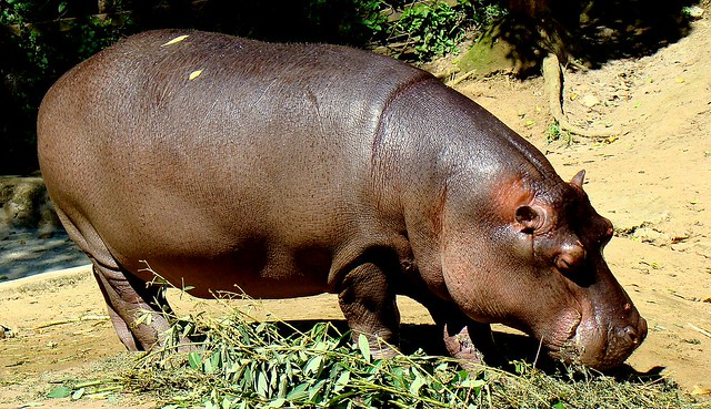 Ruhba the hippo eating some grass