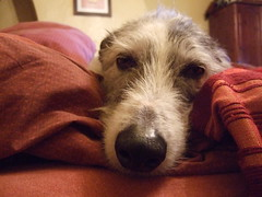 Duvet Surfing (wickamoo) Tags: dog head hound lazy duvet lurcher snoozy
