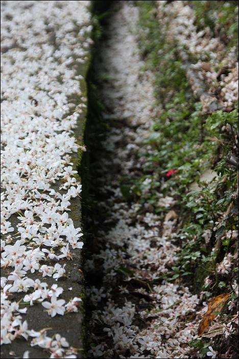 水溝裡的桐花2