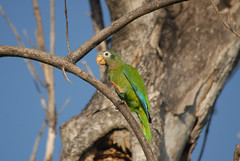 Jamaican Yellow Billed Parrot 2 (Jamdowner) Tags: birds kingston jamaica endemic parrots standrew hopegardens amazonacollaria yellowbilledparrots