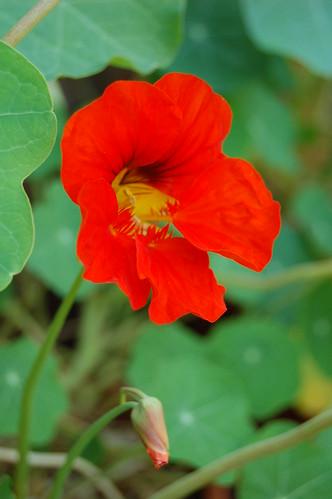 First nasturtium flower!