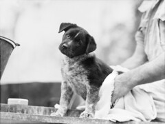 The mascot pup after a bath 1943 (Australian War Memorial collection) Tags: portrait dog pet cute animal puppy mammal photo bath war sitting little sweet military small young picture australia canine towel mascot wash photograph queensland doggy curious pup lovely attention curiosity 1943 inquisitive atherton australianwarmemorial cookhouse baroo domesticanimal ronaldkeithmonro ronaldmonro commons:event=commonground2009 9thaustraliandivision