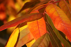 Autumn (kasia-aus) Tags: autumn orange plant colour tree nature leaves leaf australia canberra colourful act 2010