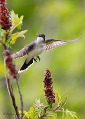 _53F6781 Eastern Kingbird (~ Michaela Sagatova ~) Tags: bird nature dundas bif flycatcher birdinflight easternkingbird tyrannustyrannus birdphotography dvca michaelasagatova