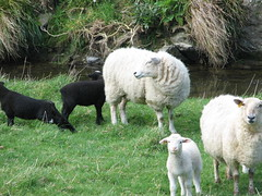 Makara Sheep (TELPortfolio) Tags: newzealand white colour sheep wellington blacksheep makara 10millionphotos jalalspagesanimalkingdom