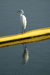 Great Egret, Bolsa Chica Ecological Reserve, Huntington Beach, CA (flyingibis) Tags: