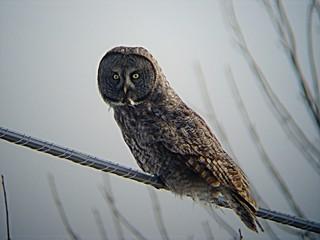 Chouette Lapone - Great Grey Owl.  Ile Bizard  06-02-2005   P3080018