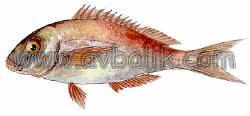 2054650523 96103e3968 mercan balığı nasıl avlanır