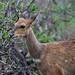 Bushbuck photographed by Annick Vanderschelden