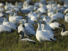 SnowGeese_4 (Little Bean Pictures) Tags: snowgeese