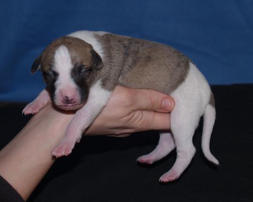 Animagi Whippet puppy: 5 days old