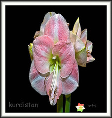 For you kurdistan (Kurdistan Photo ) Tags: love nature photography photo loves kurdistan kurdish barzani kurd kurds naturesfinest kurden photo peshmerga superbmasterpiece flickrdiamond ysplix kurdiskaa kuristani kurdistan4all peshmargaorpeshmergekurdistan kurdishflower kurdistan2all kurd4ever kurdistan4ever kurdistan3d karkuk kurdphotography kurdpopular  kurdistan4all kurdene kurdistan2008 kurdistan2006