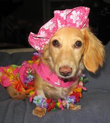 Honolulu Honey (Doxieone) Tags: pink flowers red dog cute english hat hawaii interestingness long dress mosaic cream dachshund lei explore honey final blanket blonde exploreinterestingness haired 31 coll 1002 longhaired final1 honeydog topfavorite explored englishcream halloweenfall2008set