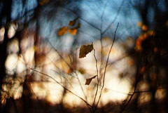 aria (futureancient) Tags: sunlight 50mm leaf dof bokeh rangefinder canonf095 leicam8 futureancient