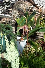 Bulbophyllum echinolabium (dwittkower) Tags: orchid flower flora orchids orchidaceae species orquideas orchidée bulbophyllum bulbo orqudea