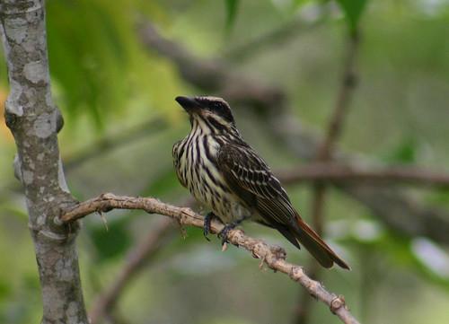 Bem-te-vi-rajado, Streaked Flycatcher (Myiodynastes maculatus)