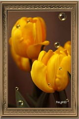 Bubbly Tulips (Mr. FRANTaStiK) Tags: flores flower macro art japan closeup garden tokyo flora dof framed bubbles frame tulip bubble mywinners ilovemypic fongetz francistan flickrestrellas goldentulips