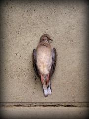 El silencio y el Pjaro - Parte I (Fina Rosell) Tags: bird dead death still muerte silence future silencio futuro pjaro pizarnik finarosell