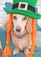 Irish (Doxieone) Tags: irish dog cute english photoshop long cream dachshund honey blonde haired 31 coll longhaired honeydog englishcream halloweenfall2008set